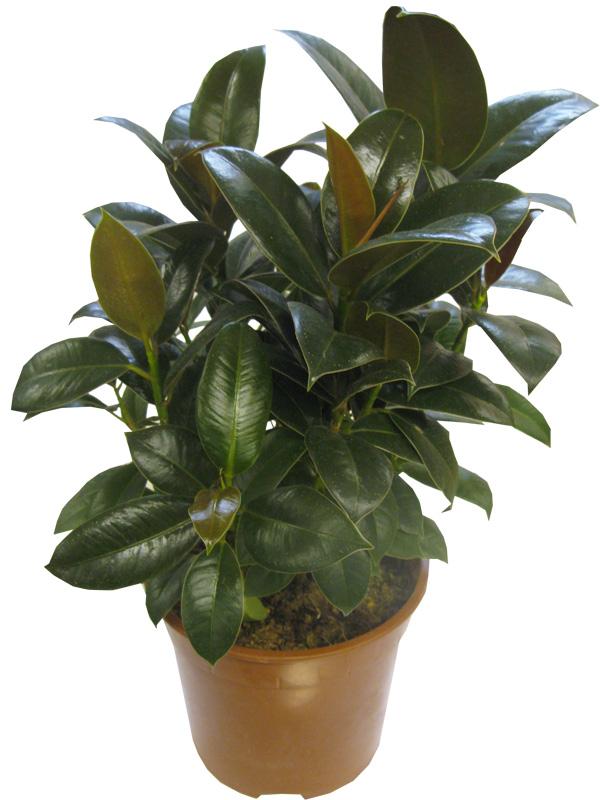 помощью нескольких фикус мелани фото взрослого растения секрет, что