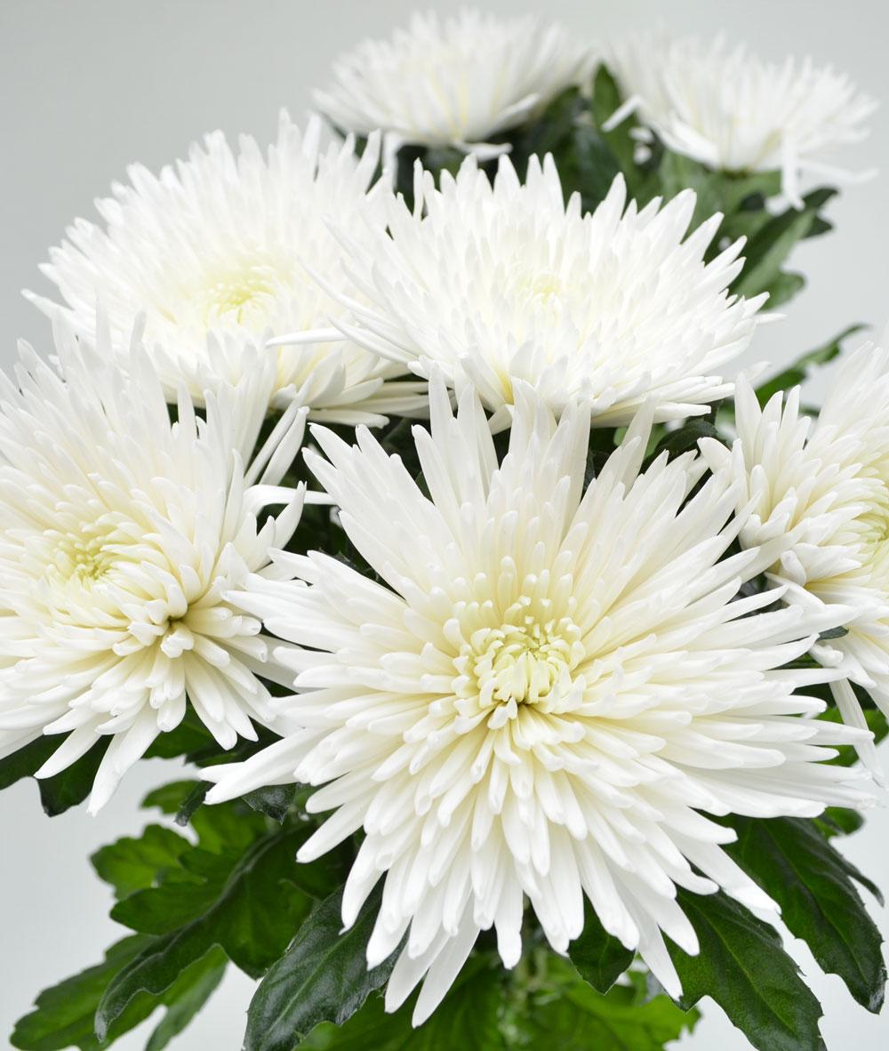 Хризантема грация фото