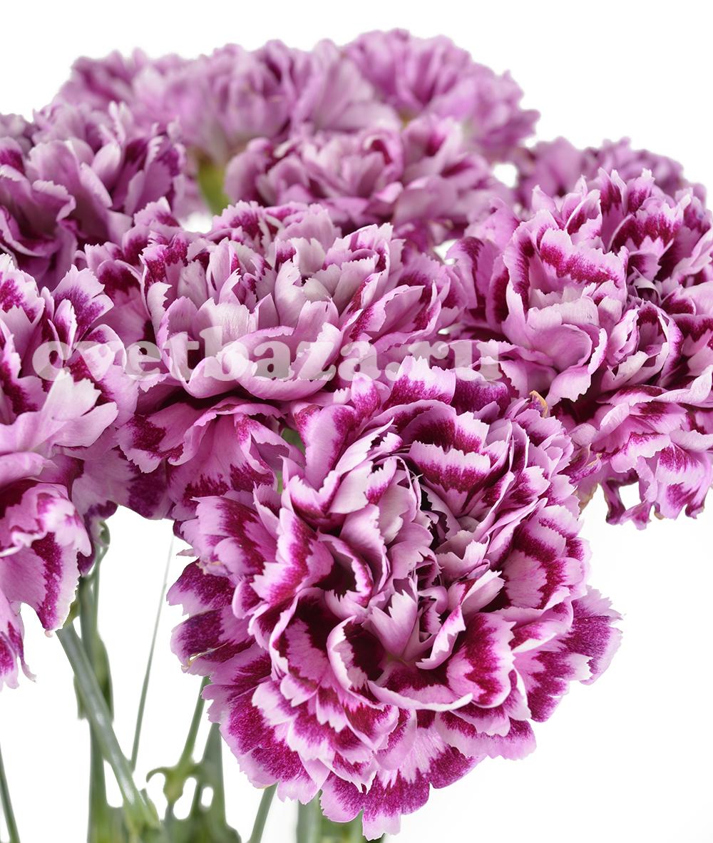 Букеты, срезанные цветы гвоздика купить минск