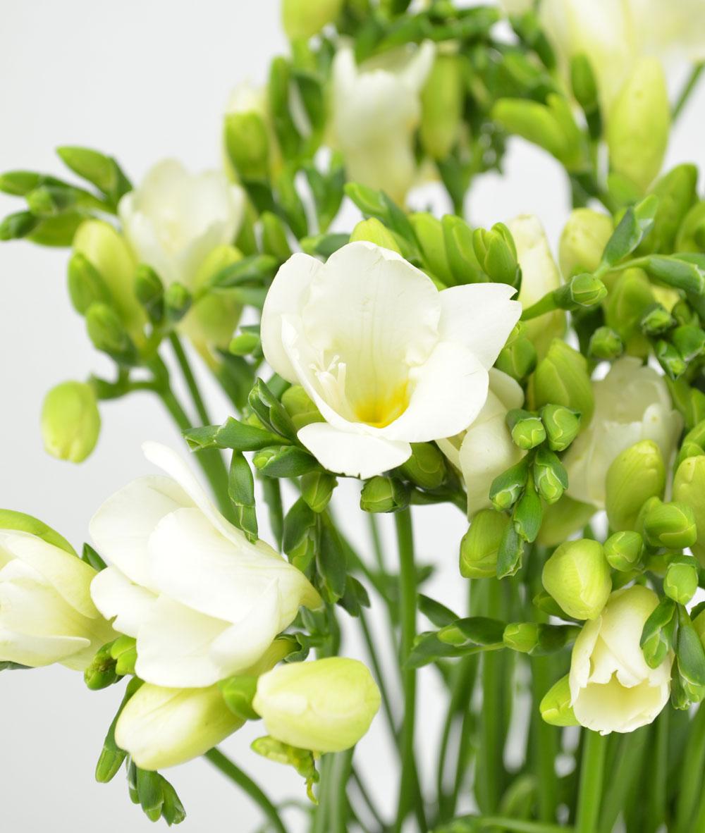 Каких цветов, фрезия белая срезанные цветы купить